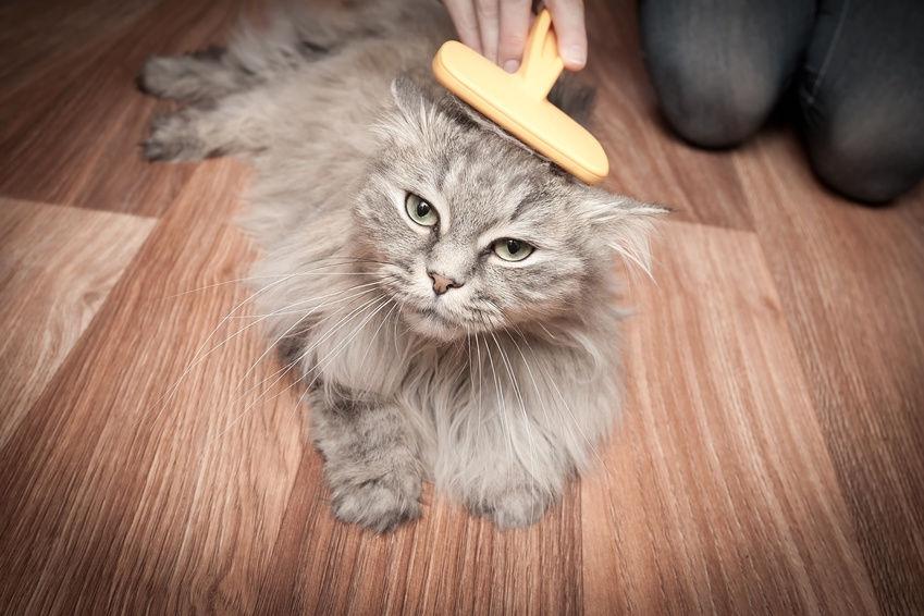 Malattia-delle-pulci-gatto